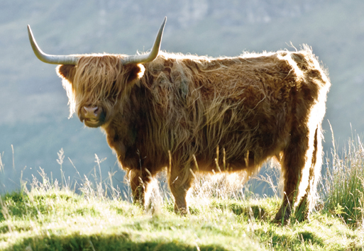 Highland Cow postcard